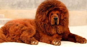 Il cane piu' costoso del mondo